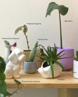 Polkadot begonia, montera, tradescantia nanouk, cactus mini, monstera, agave, philodendron scandens